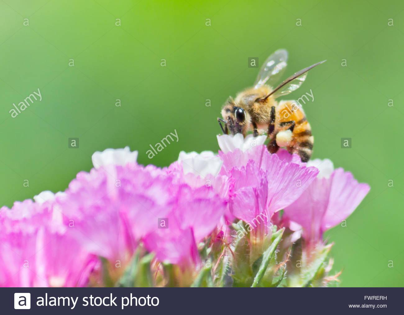 Honeybee collecting pollen from pink statice flower - Stock Image