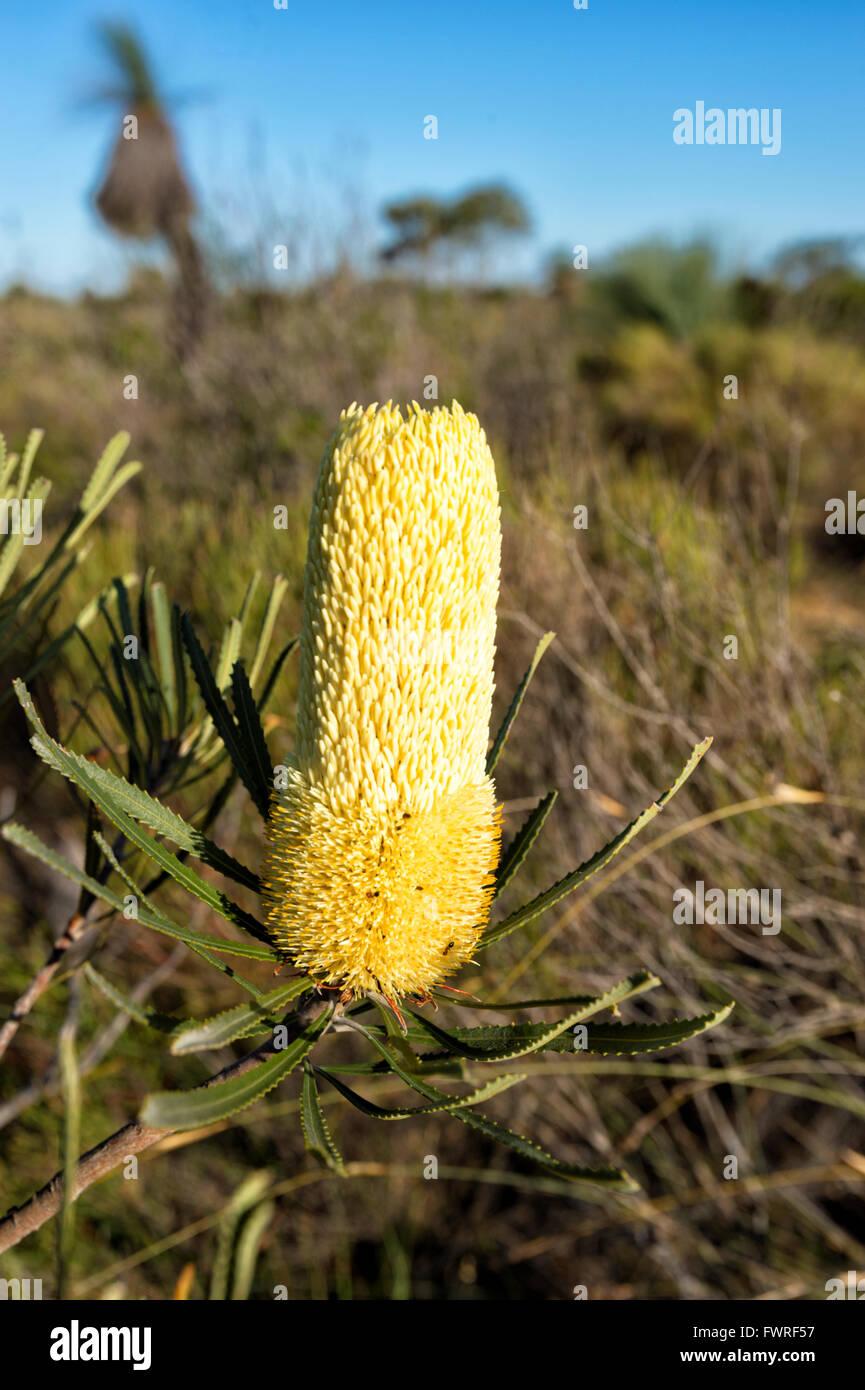Coast Banksia (Banksia attenuata) in Bloom, Kalbarri National Park, Western Australia, Australia - Stock Image