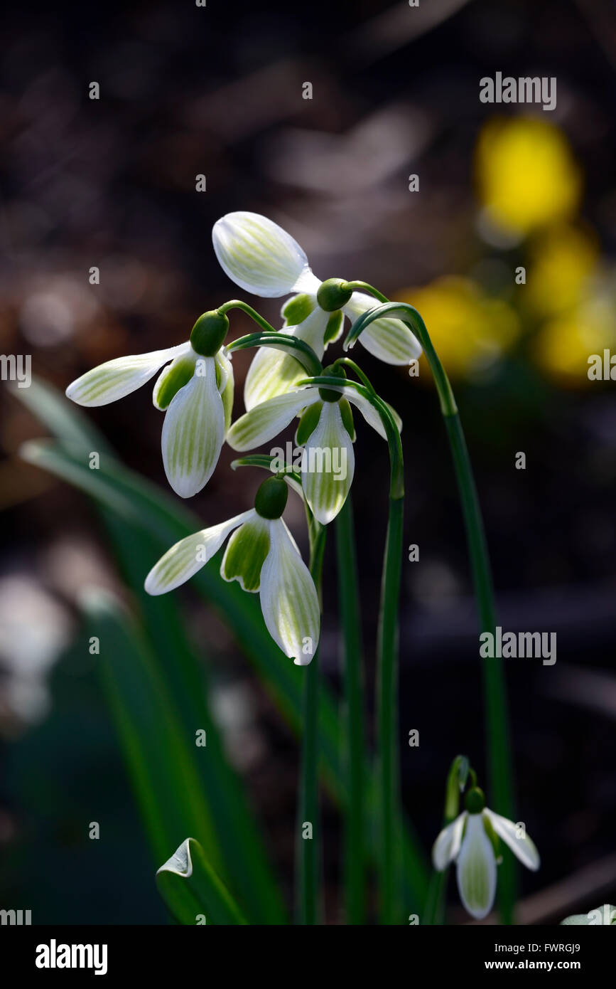 Galanthus, Green Tear,  hybrid, green markings, virescent ,Snowdrop, snowdrops, spring, flower, flowers, RM Floral, - Stock Image