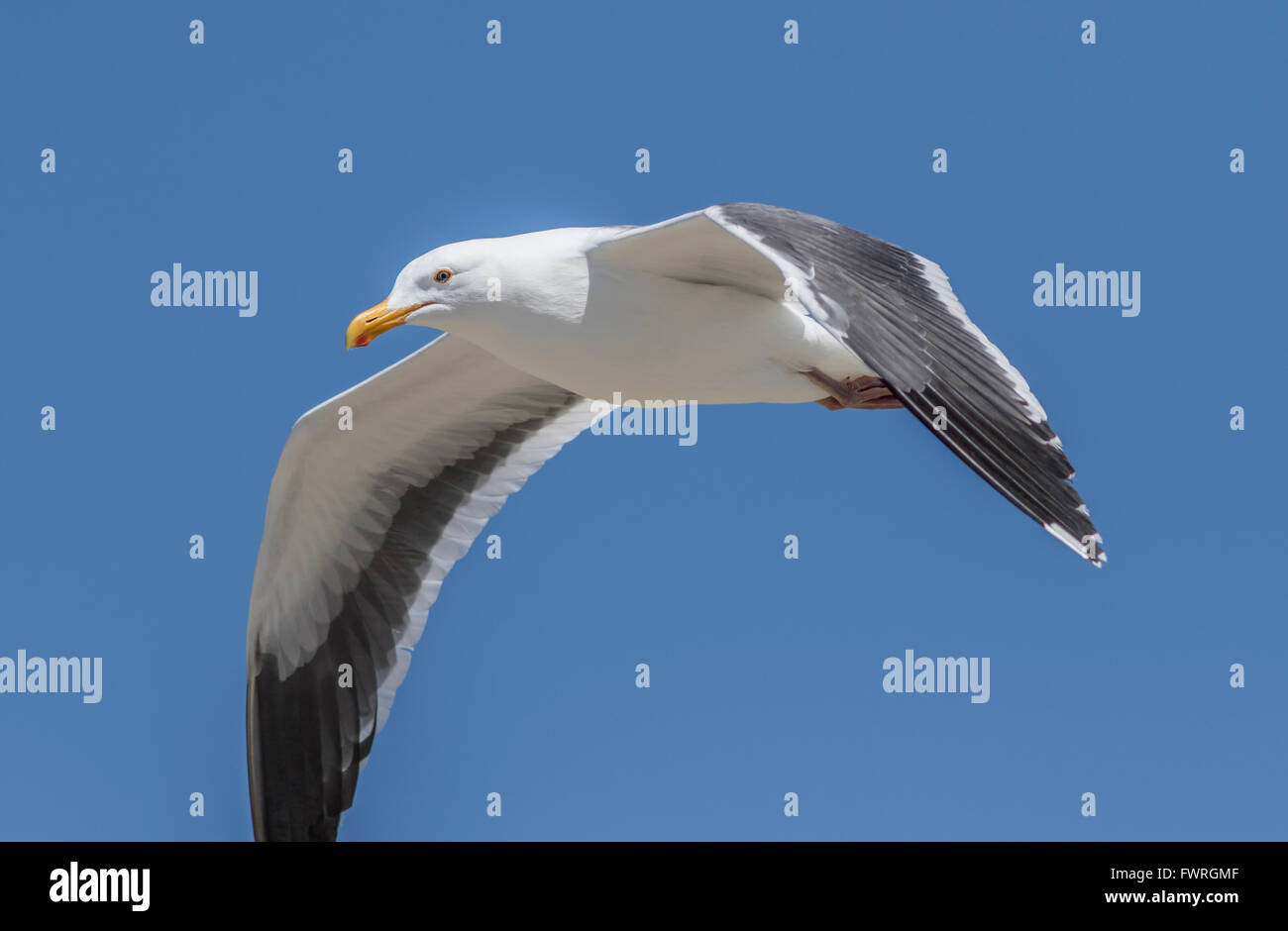 Western gull at Moss Landing California - Stock Image