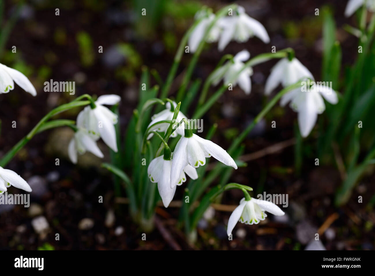 Galanthus Lady Beatrix Stanley Snowdrop White Flowers Green Markings