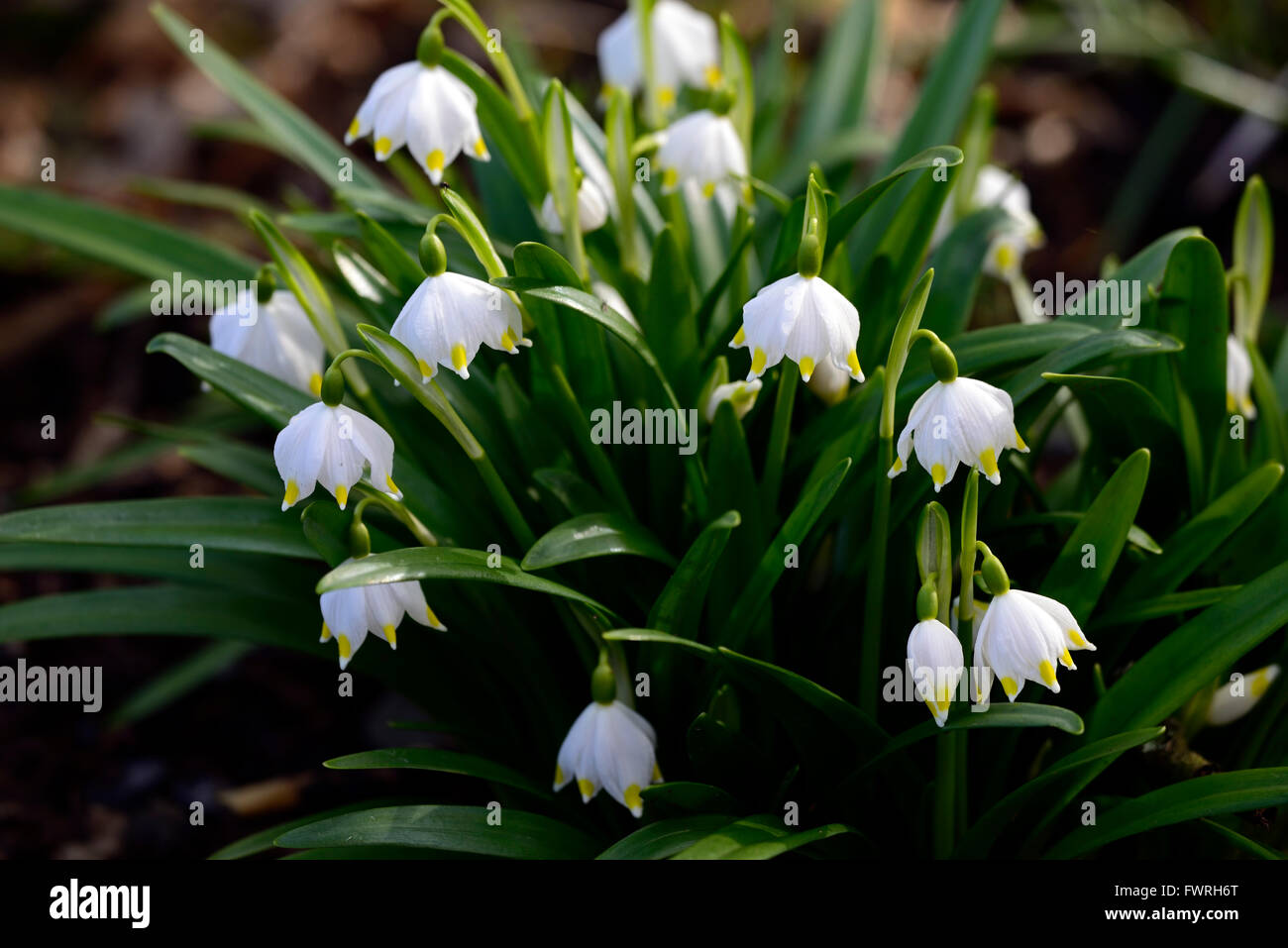 Bell shaped yellow flower stock photos bell shaped yellow flower leucojum vernum var carpathicum spring snowflake flowers flower clump forming white bloom blossom bell shaped shape mightylinksfo