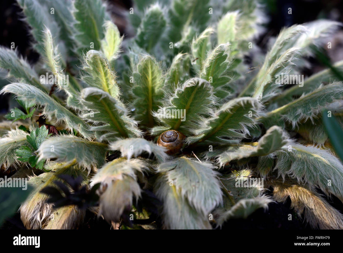 meconopsis foliage leaves hairy spring growth growing shelter snail garden gardening RM Floral - Stock Image
