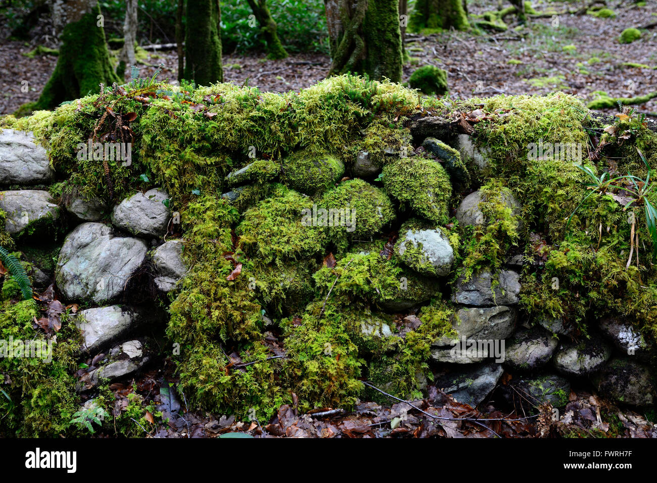 Moss covered wall damp wet moist wood woodland shade shady shaded mossy growth growing RM Floral - Stock Image
