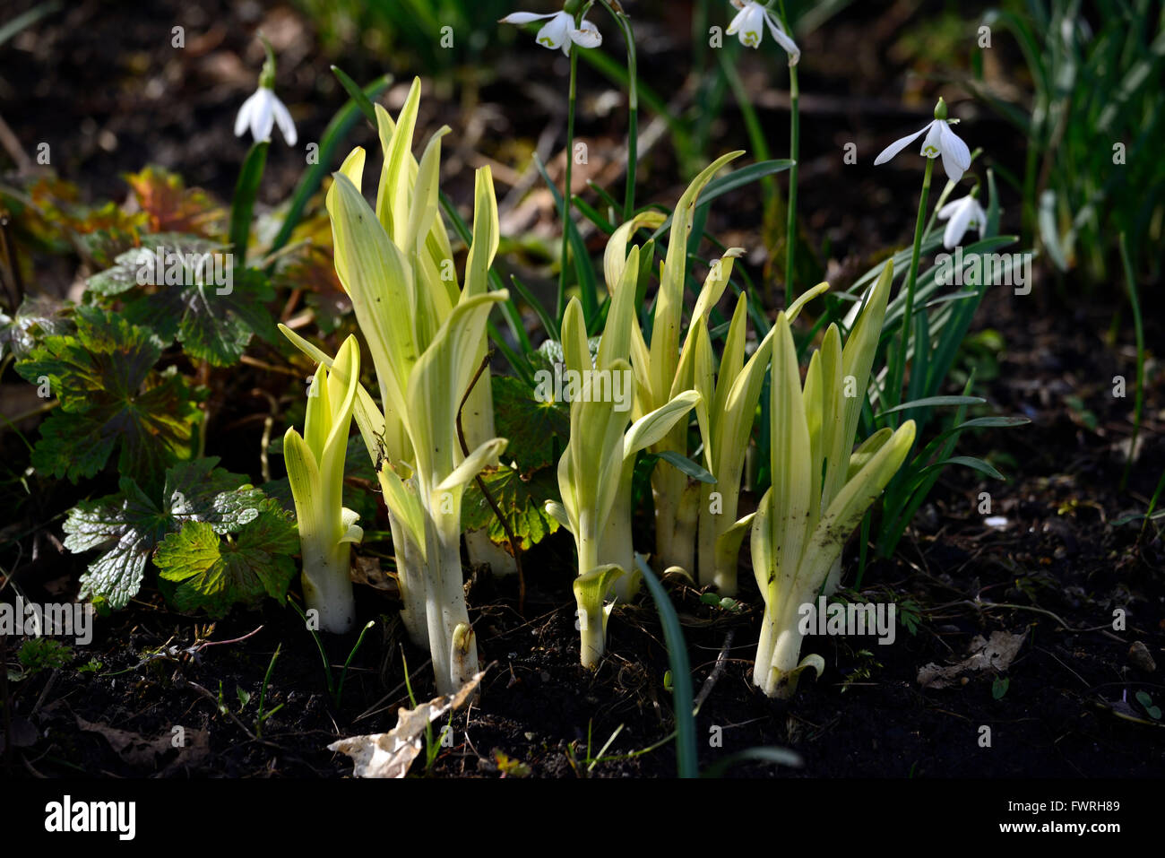 shoot shoots tip tips new growth emerge emerging spring RM Floral - Stock Image