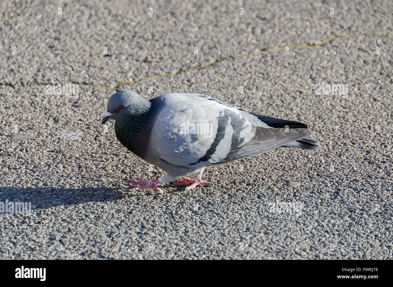 Pigeon, gros plan - Stock Image