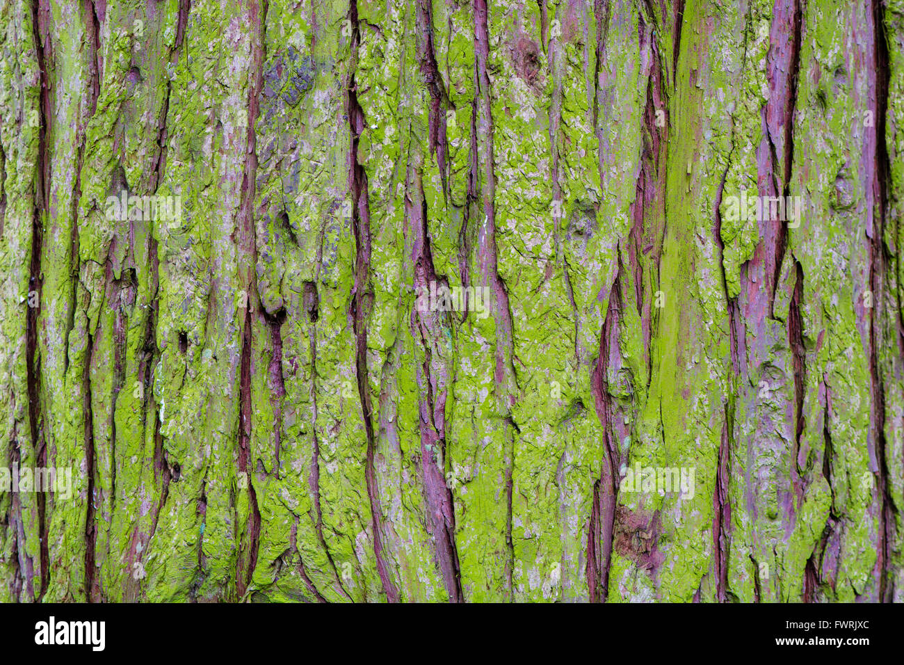 Algae covered conifer bark background. Roughly textured bark of coniferous tree covered in bright green growth - Stock Image