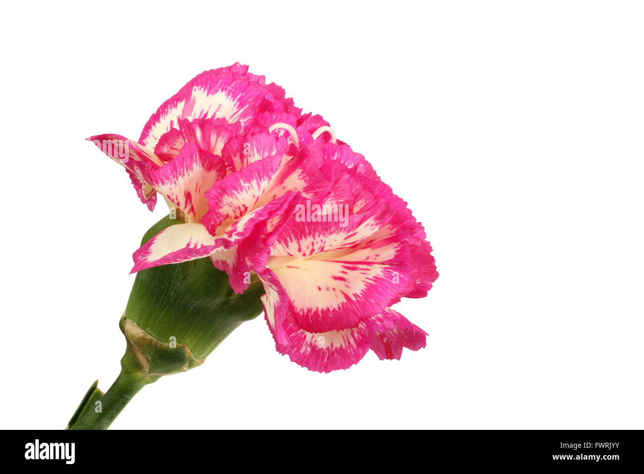 White carnation with magenta edges of petals isolated on white background - Stock Image