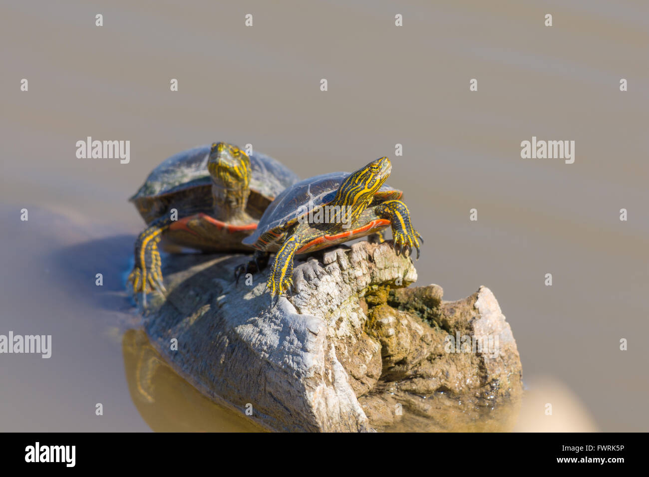 Western Painted Turtles, (Chrysemys picta bellii), basking at Bosque del Apache National Wildlife Refuge, New Mexico, - Stock Image