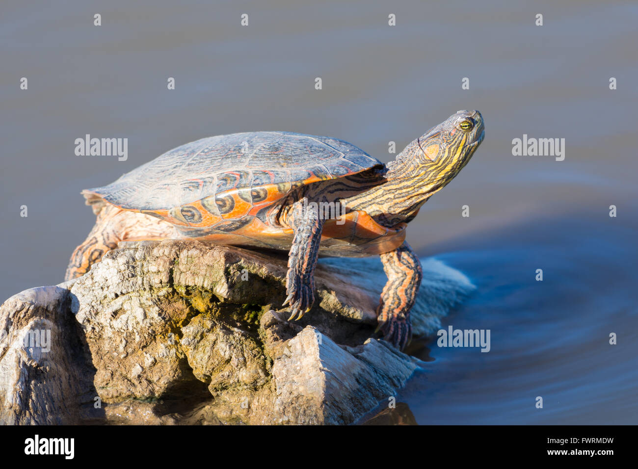Big Bend Slider, (Trachemys gaigeae gaigeae), basking at Bosque del Apache National Wildlife Refuge, New Mexico, - Stock Image