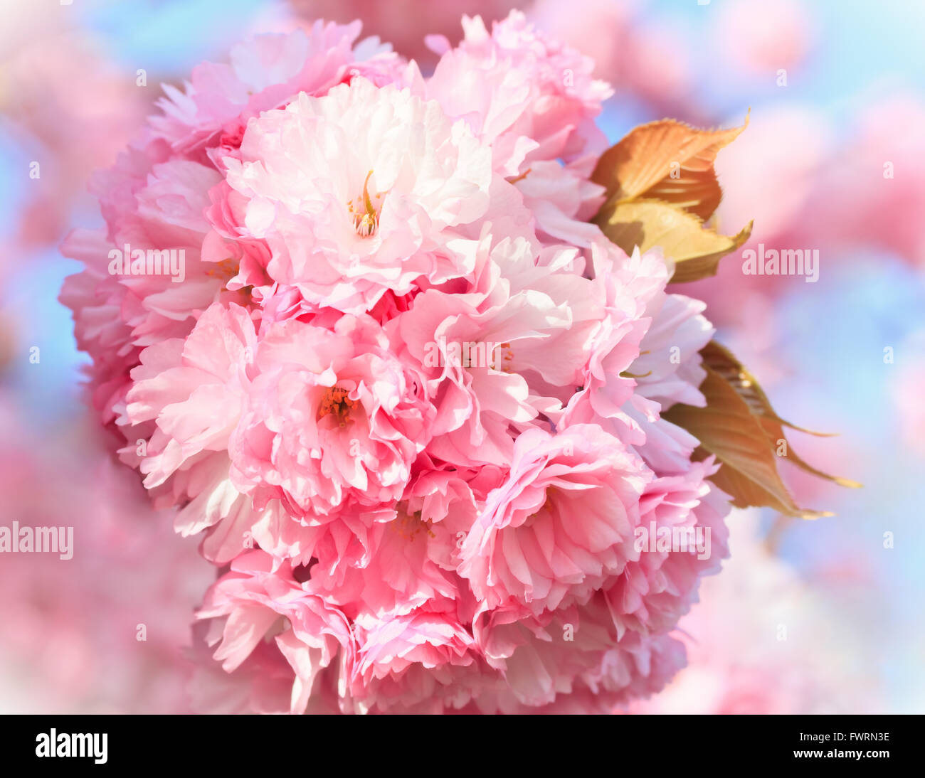 Close up of blooming sakura - Stock Image