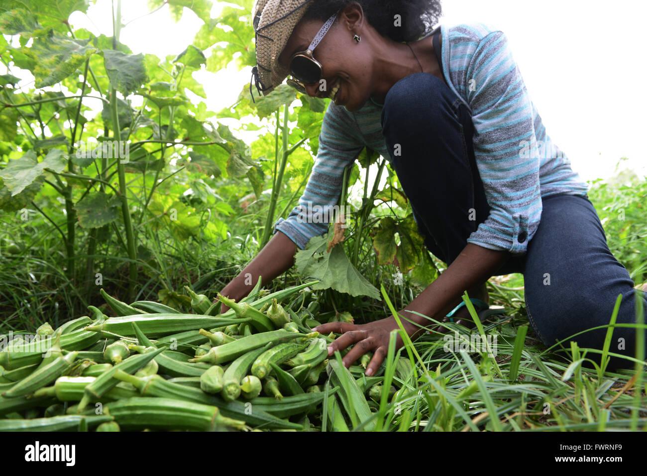 Okra harvest in Humera, Ethiopia. - Stock Image
