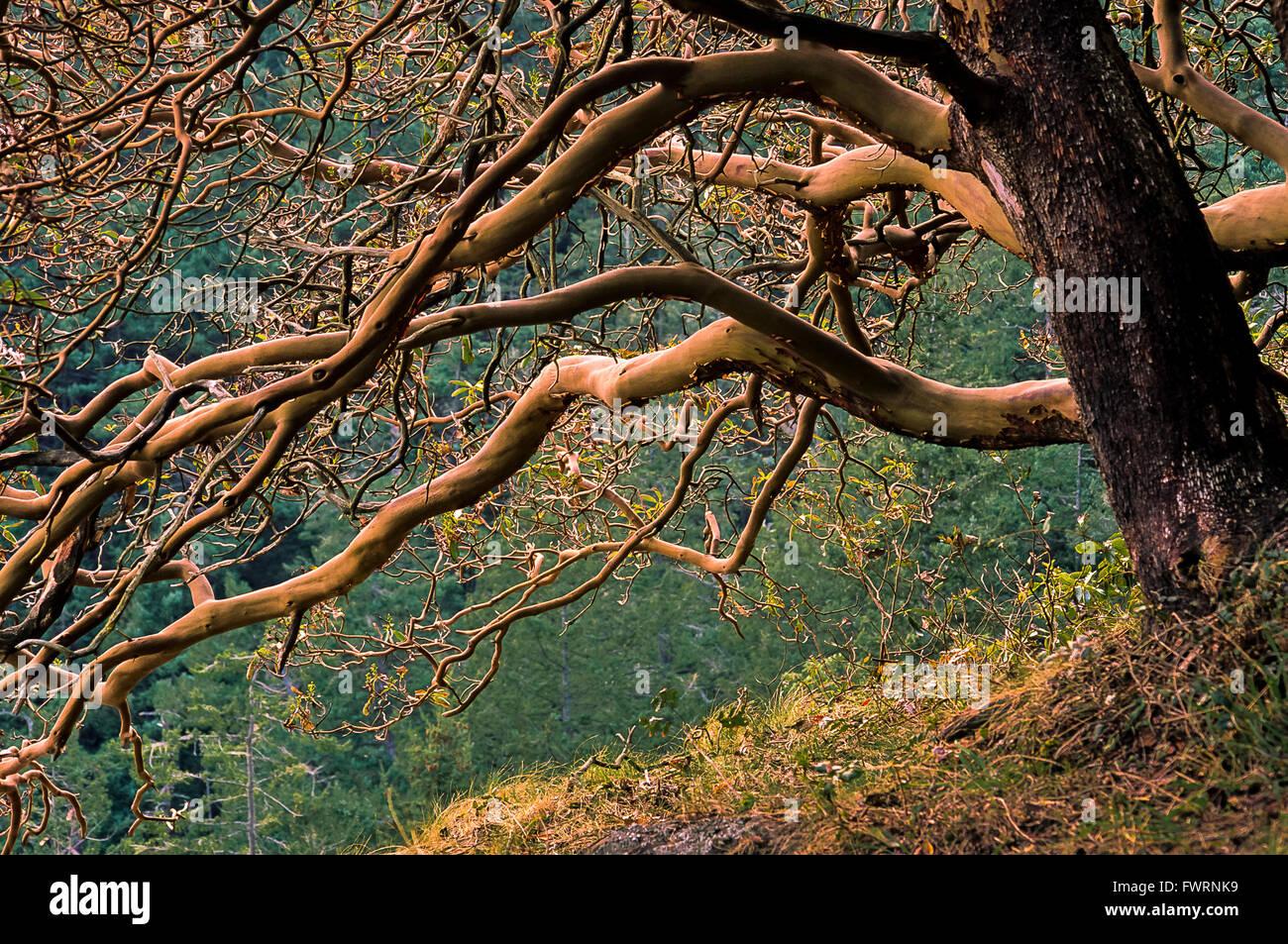 Arbutus menziesii, Deception Pass, Washington, USA - Stock Image