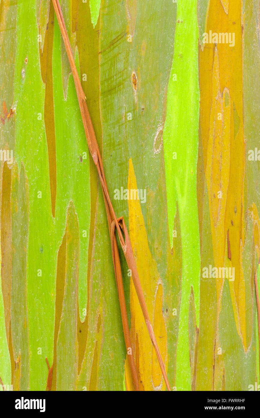 Eucalyptus tree on Maui - Stock Image