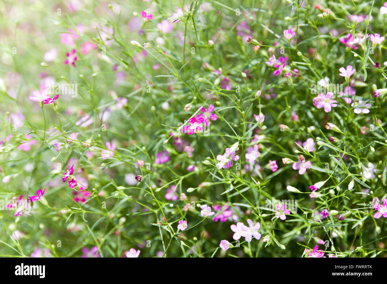 A Plant Of The Genus Gypsophila In The Pink Family Small Pink Stock