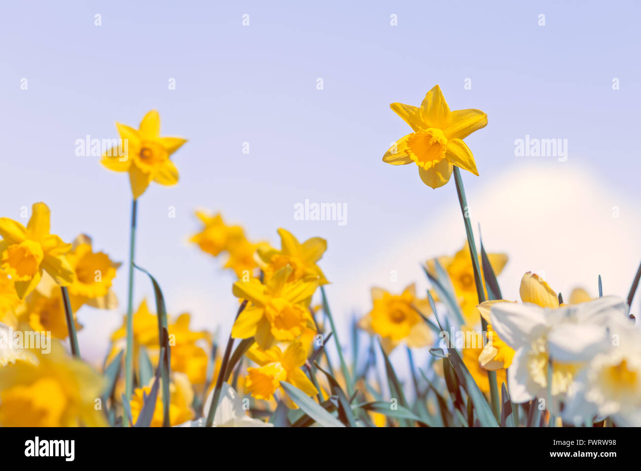 Wild Yellow And White Daffodil Flowers On Bright Cloudy Sky Stock