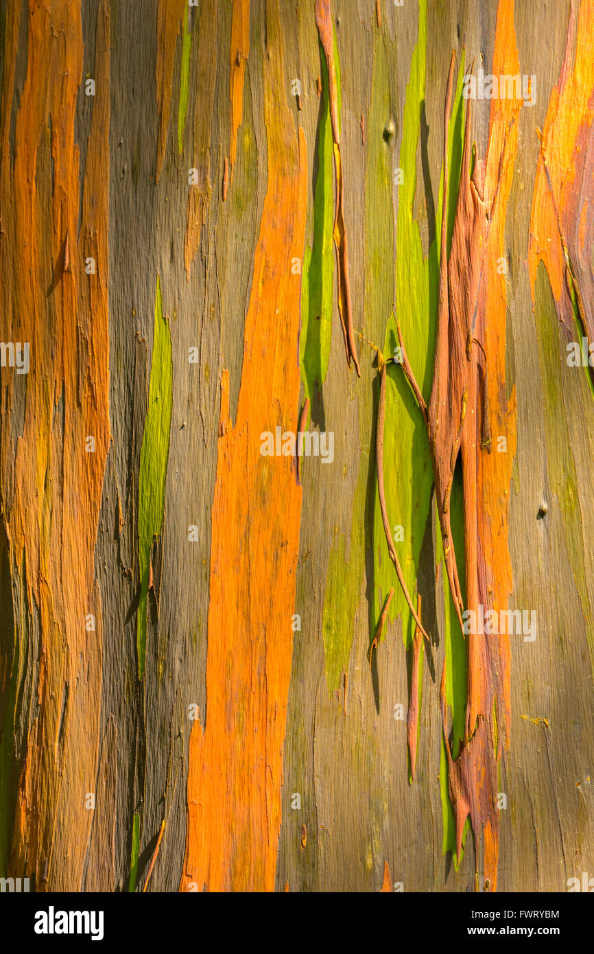 Rainbow Eucalyptus tree trunk Maui - Stock Image
