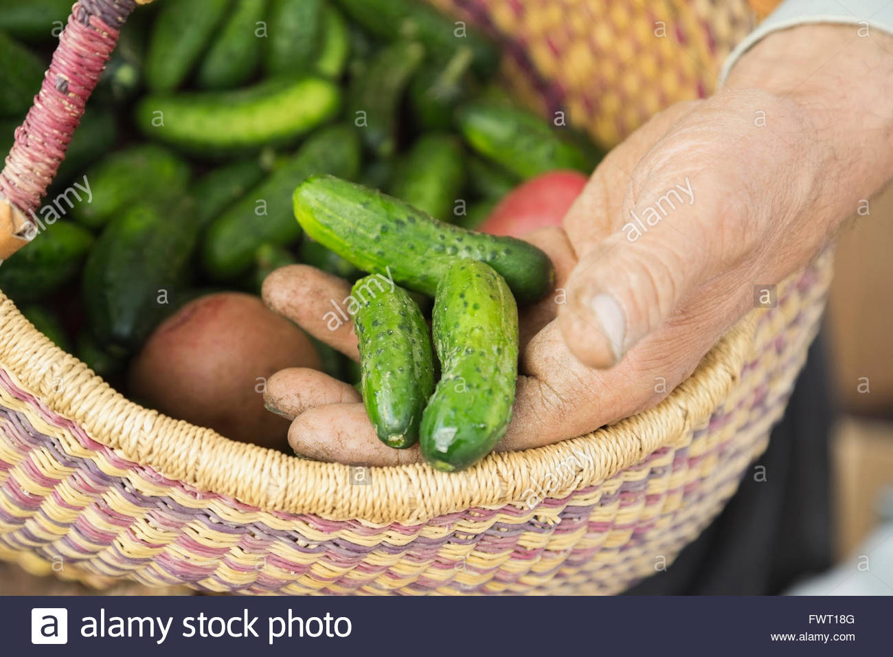 Mans hands holding fresh pickling cucumbers - Stock Image