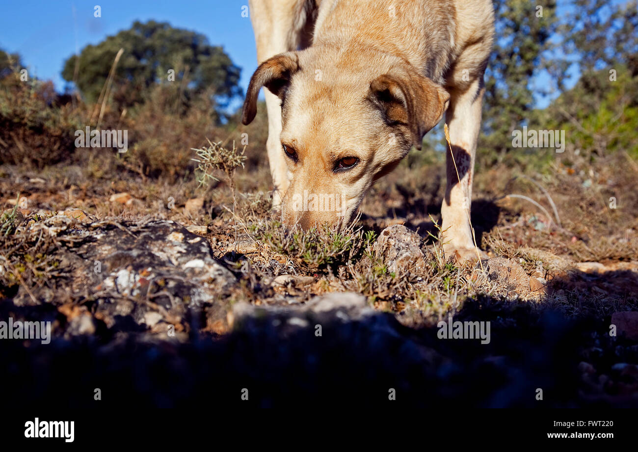 Truffle Hound High Resolution Stock Photography and Images - Alamy