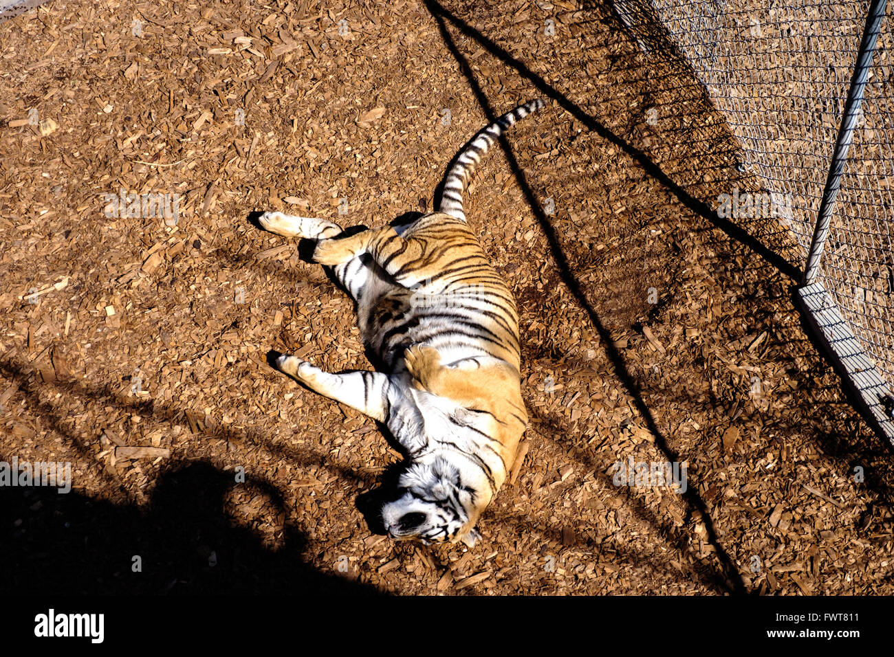 A rescued tiger in captivity lounges in an enclosure while being rehabilitated prior to being introduced to other Stock Photo