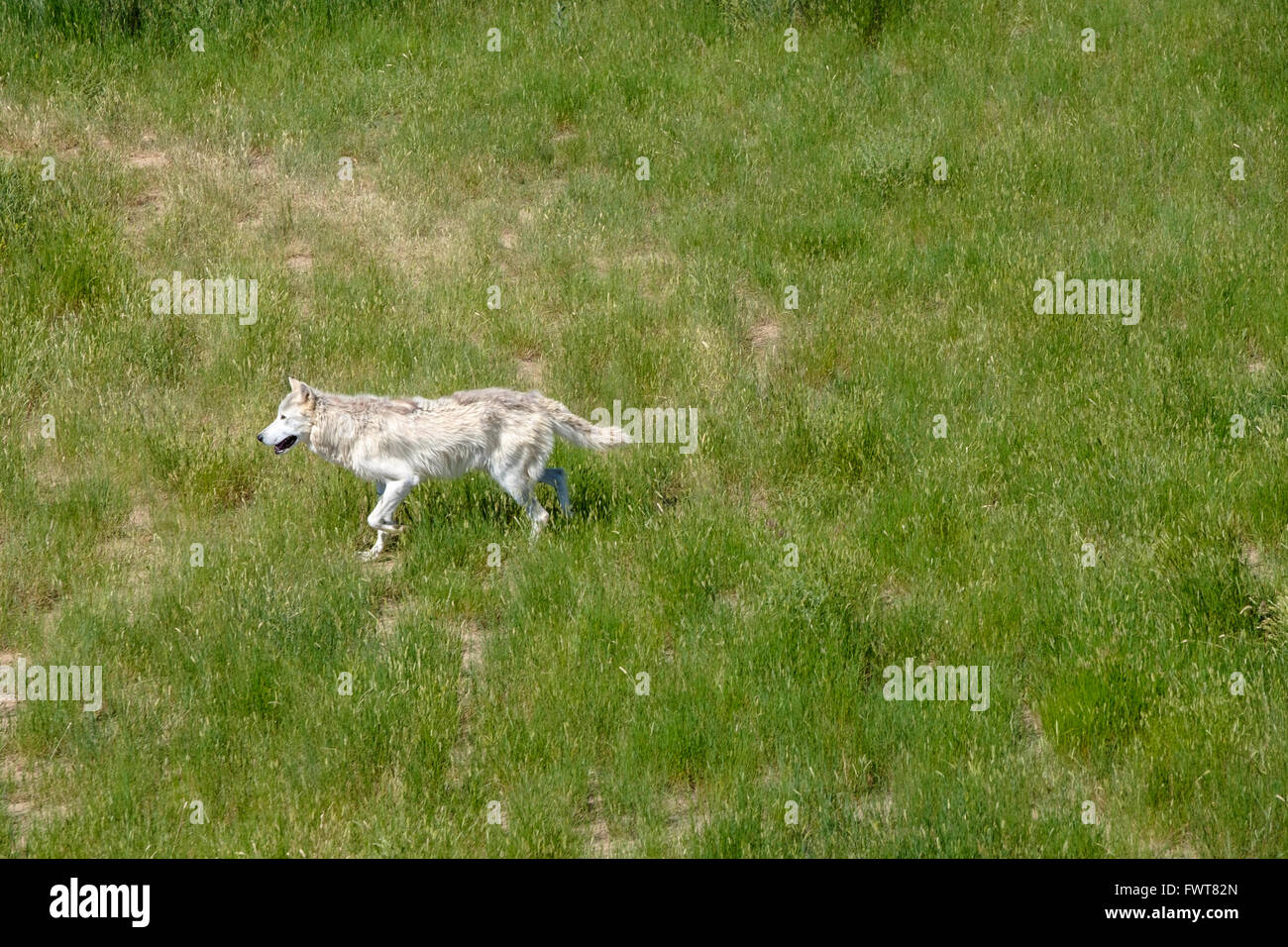 A grey wolf roams in his enclosure at the Wild Animal Sanctuary in Keenesburg, Colorado. Stock Photo