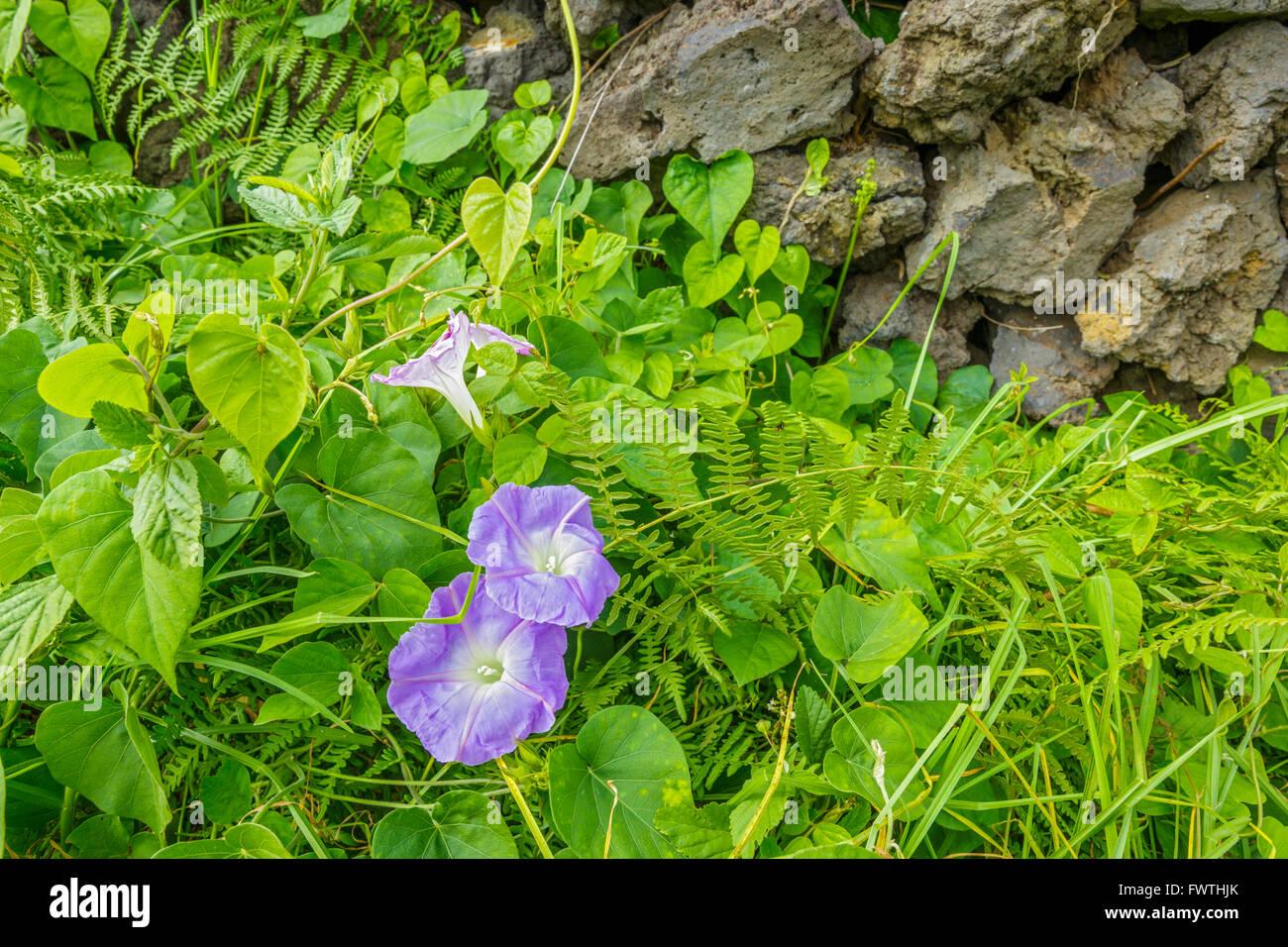 Blue Dawn Flower Ipomoea Indica Stock Photos Blue Dawn Flower