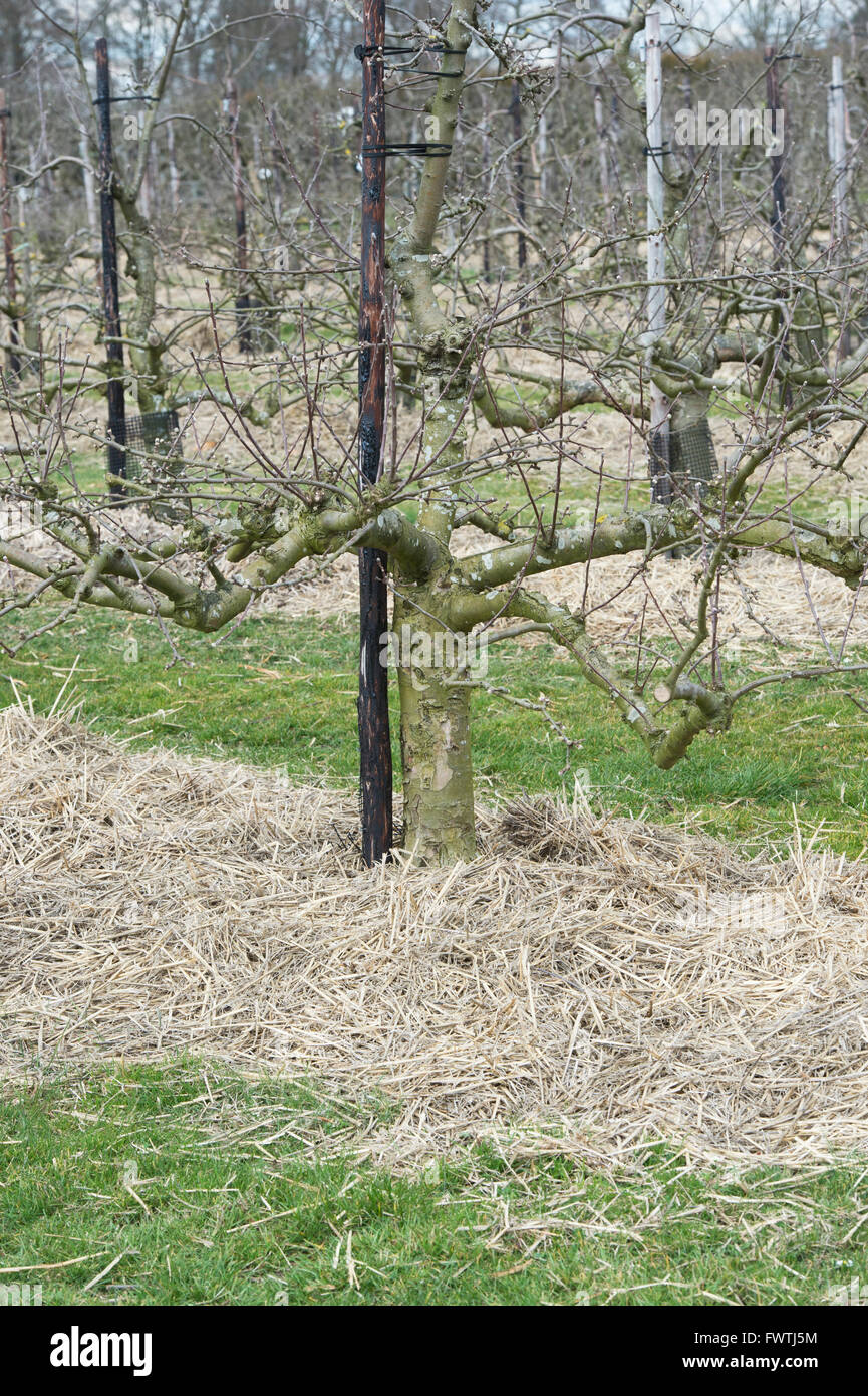 Straw covering the base of apple trees in spring at RHS Wisley Gardens. Surrey, England - Stock Image