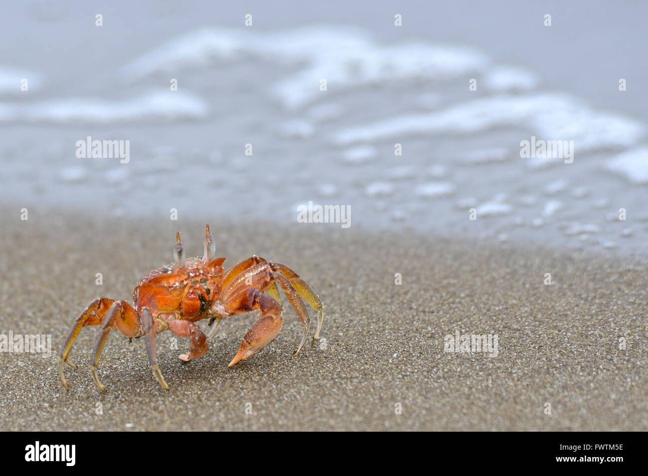 Red crabs or ghost crab (ocypode sp). Isla de la Plata is a small island off the coast of Manabí, Ecuador, and is part of Parque Stock Photo