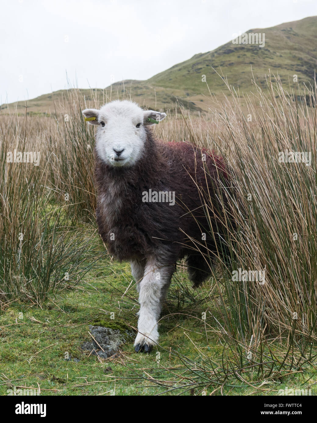 Herdwick sheep in Borrowdale, Lake District, Cumbria, England, UK (identifying marks digitally removed from ear - Stock Image