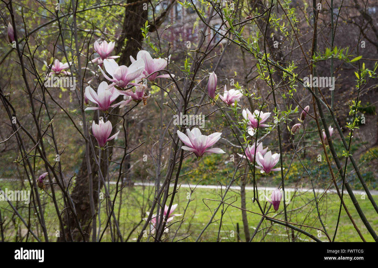 Saucer Magnolia (Magnolia × soulangeana) in bloom with pink and white flowers in Spring in Central Park, New - Stock Image