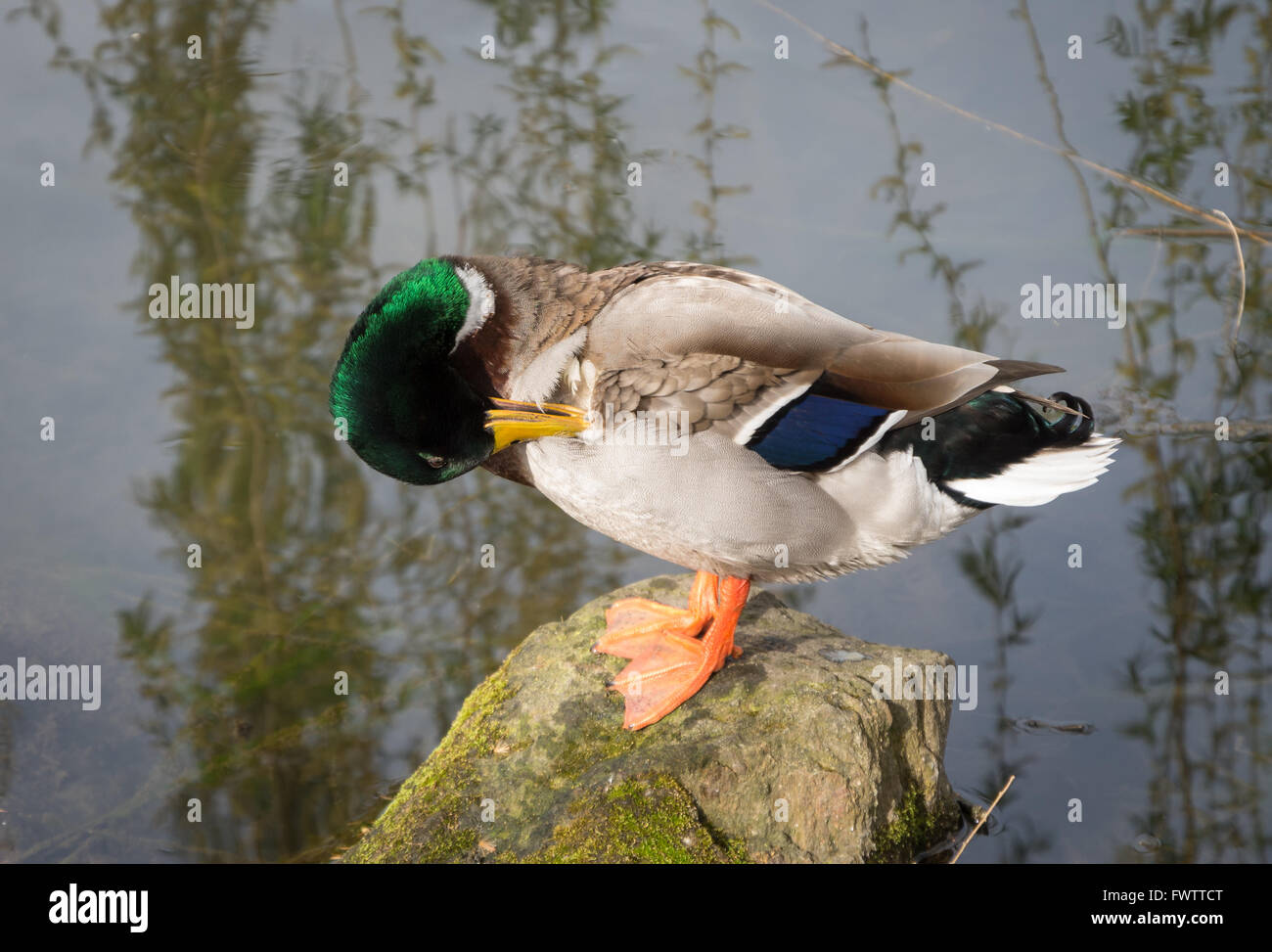 Male Mallard duck (Anas platyrhynchos) perched on a rock in a pond preening his feathers Stock Photo