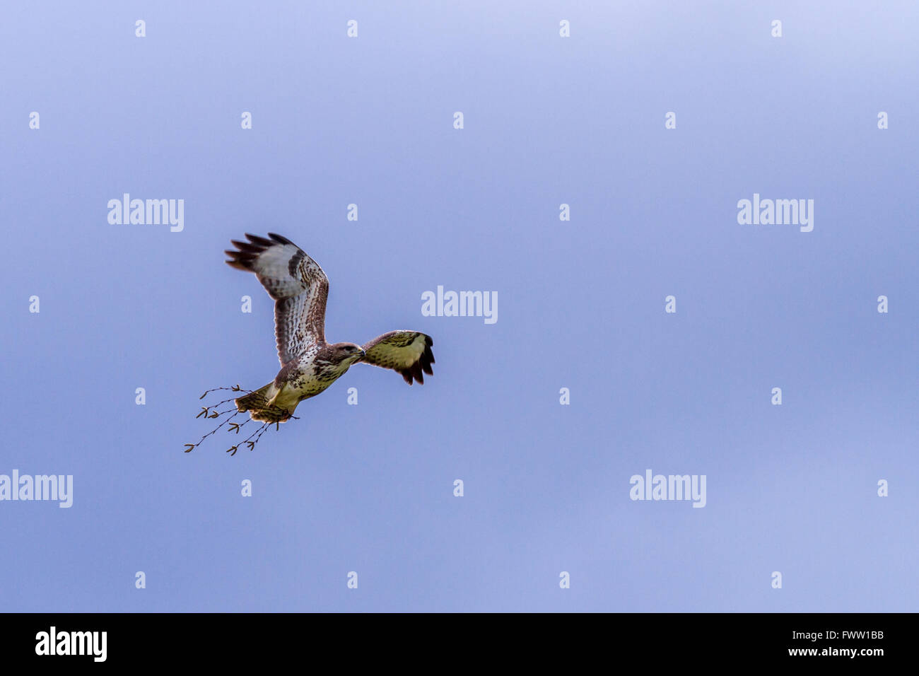 Buzzard (Buteo buteo) carrying a token of love around to impress a potential female, Yorkshire, UK - Stock Image