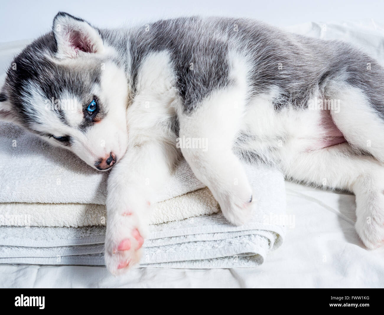 Cute Siberian Husky Puppy With Blue Eyes Stock Photo Alamy