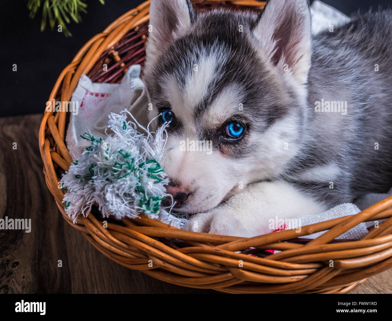 Cute Siberian Husky Puppy With Blue Eyes In The Basket Stock Photo Alamy