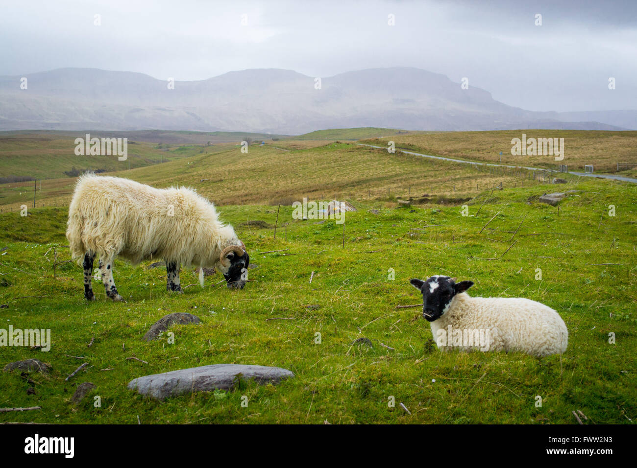 A ewe and her lamb graze on a foggy day on the Isle of Skye in Scotland - Stock Image