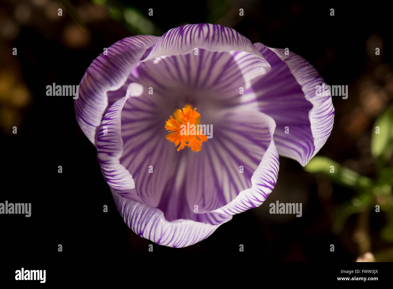Flower of a purple and white crocus with bright orange anthers and stigmata, February - Stock Image