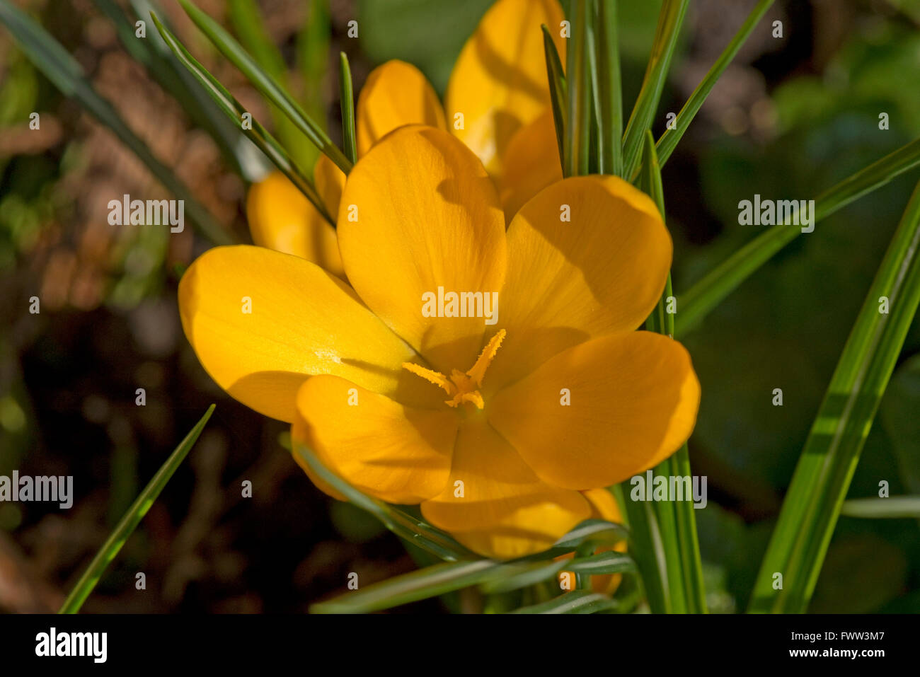 Flower of a yellow crocus with yellow anthers and stigmata, February - Stock Image