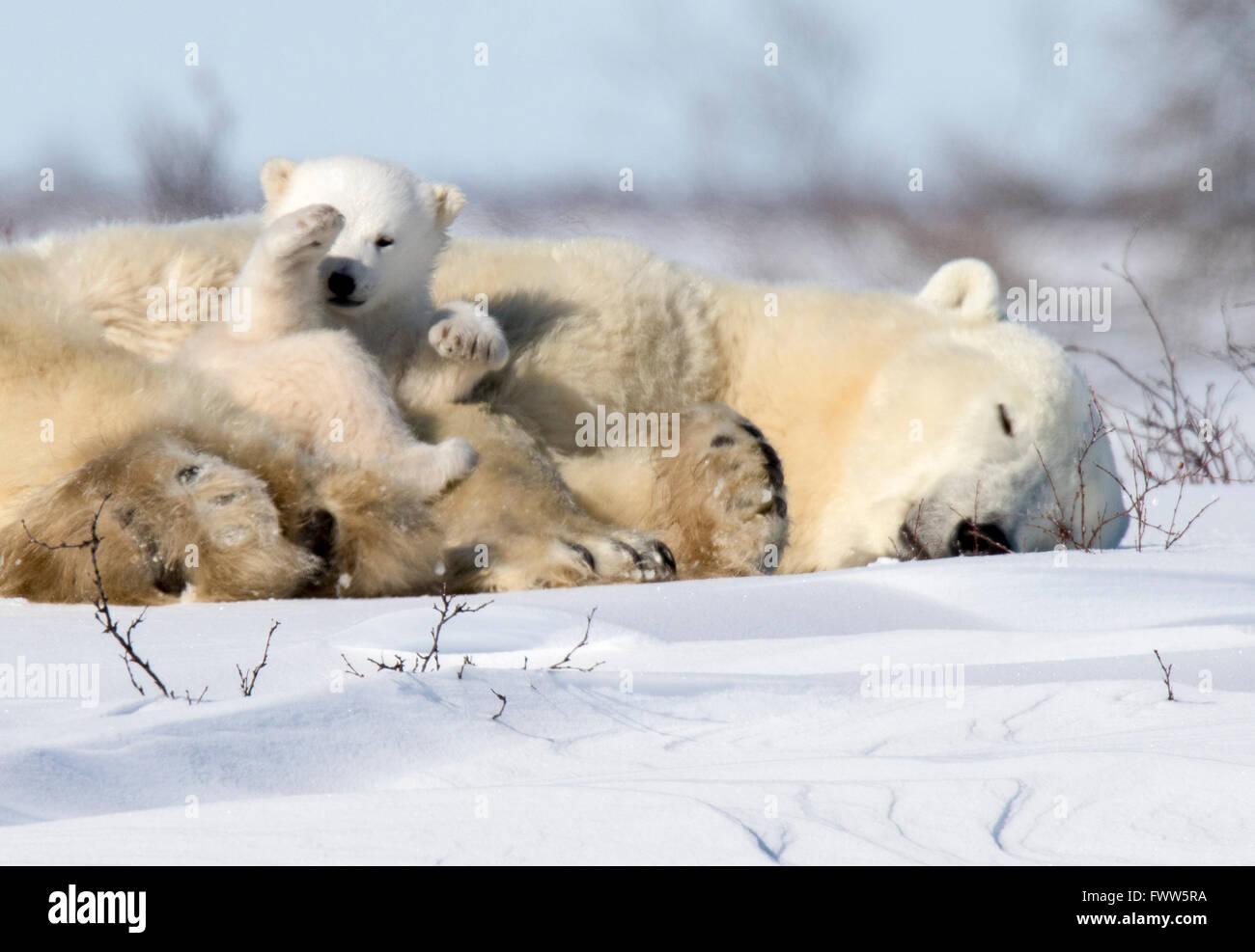 Mother polar bear sleeping with cubs Stock Photo