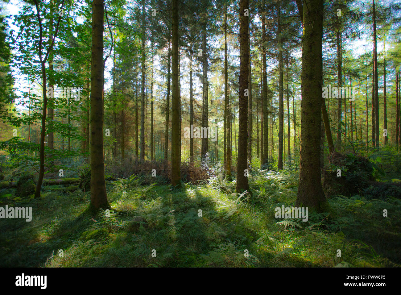 Scottish forest scene with sunlight coming through trees - Stock Image