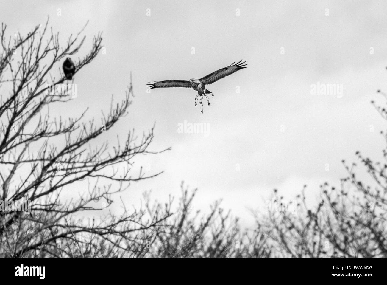 Common buzzard (Buteo buteo) presenting 'gifts' for his potential mate - although it looks like mistletoe, - Stock Image