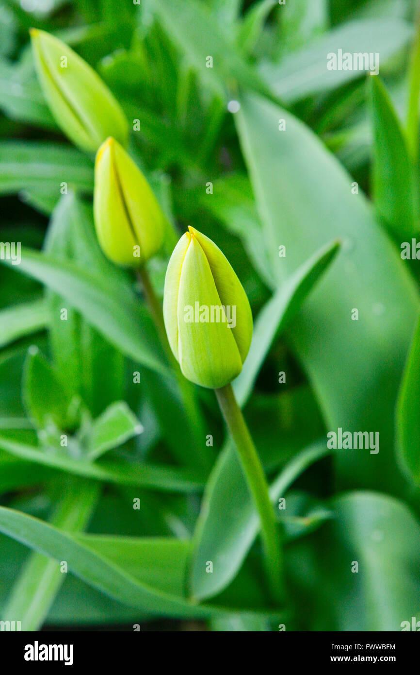 Common garden tulip (Tulipa spec.), tulip in bud - Stock Image