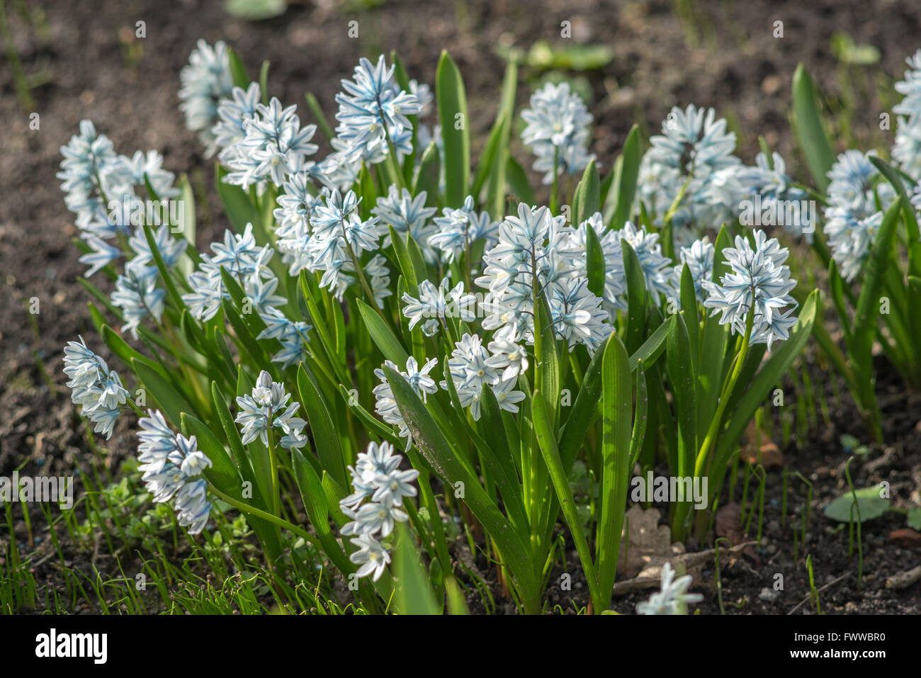 Puschkinia scilloides spring flowers blooming Stock Photo