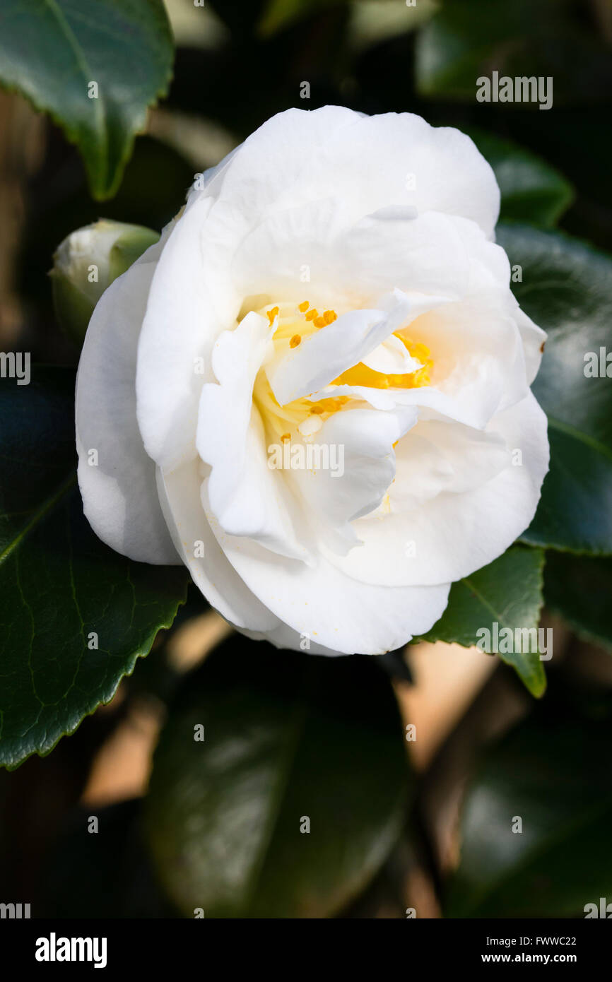 Double white flowers of the late winter blooming evergreen shrub, Camellia japonica 'Elizabeth Dowd' - Stock Image