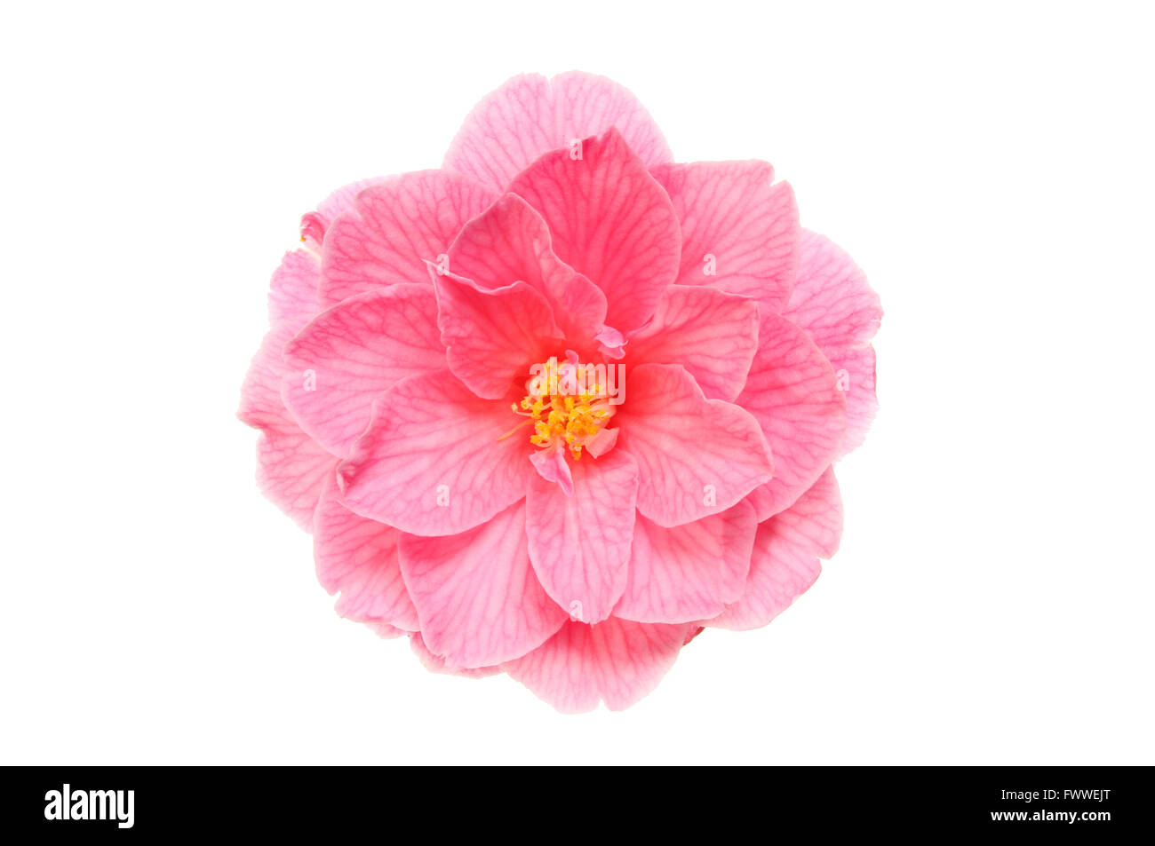 Magenta Camellia flower isolated against white - Stock Image