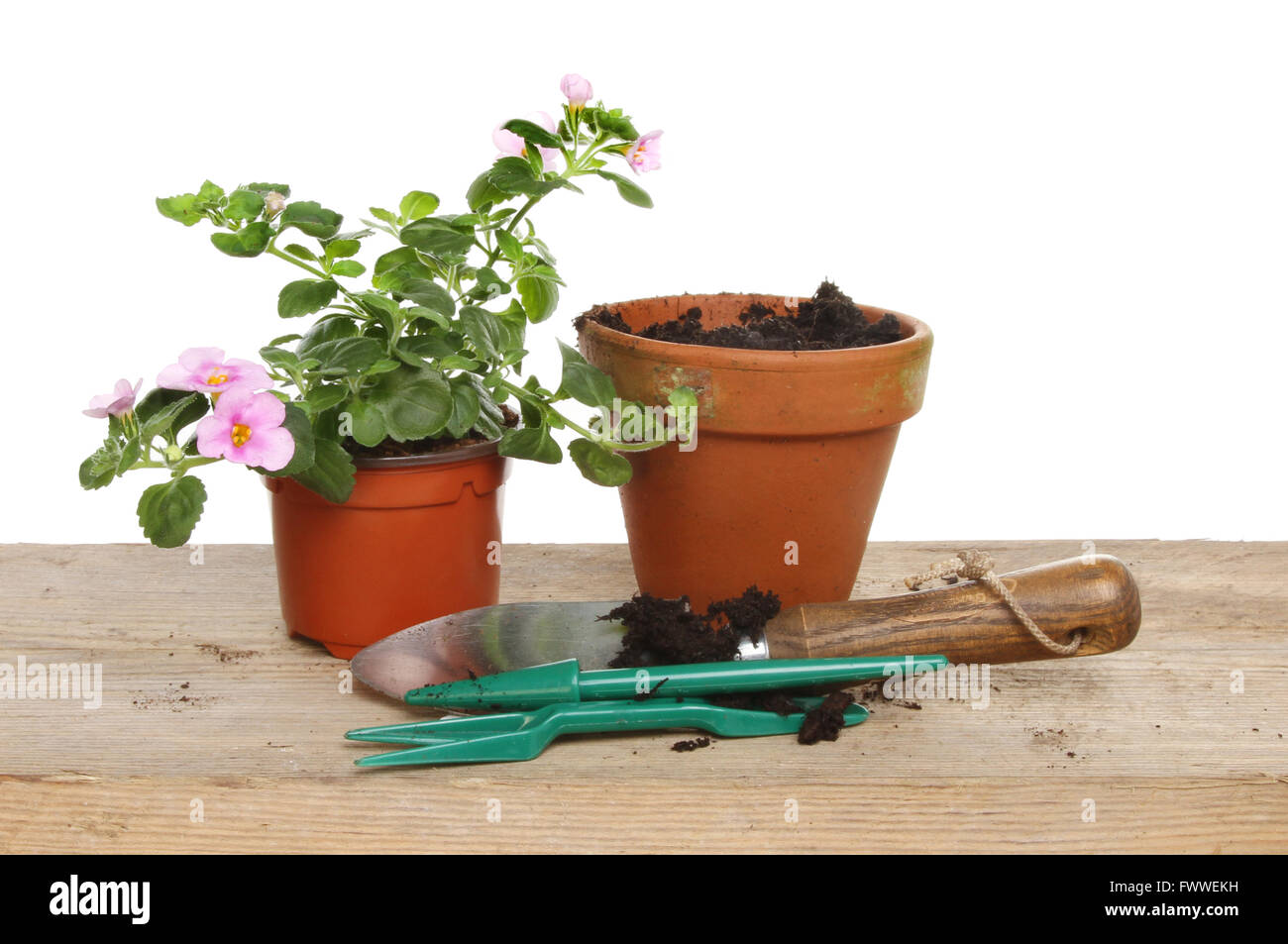 Bacopa bedding plant and tolls for potting on, on a potting bench - Stock Image