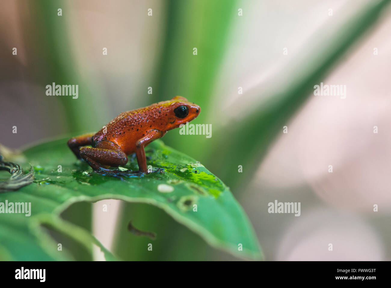 Strawberry poison-dart frog (Oophaga pumilio) perched on a leaf, Heredia Province, Costa Rica - Stock Image
