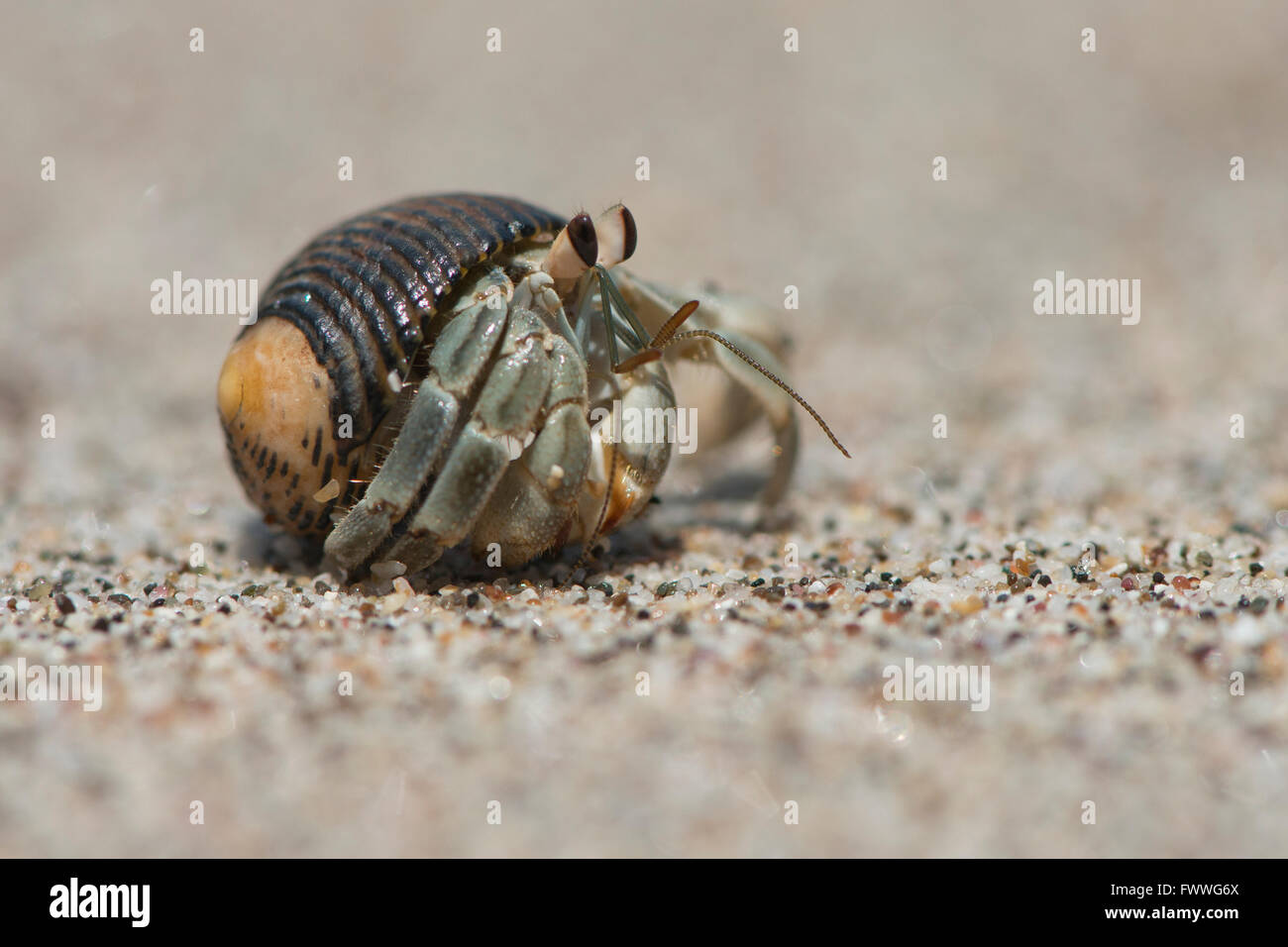 Ecuadorian Hermit Crab (Coenobita compressus) in the sand, Manuel Antonio National Park, Puntarenas Province, Costa - Stock Image
