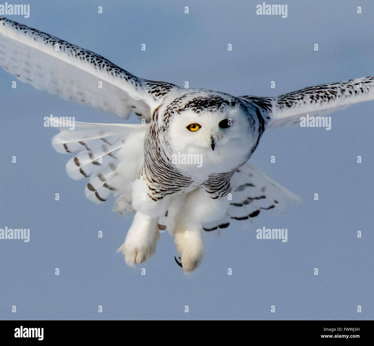 Snowy owls are stunningly beautiful in silent flight and in fierce hunting activity.  They are very strong with - Stock Image