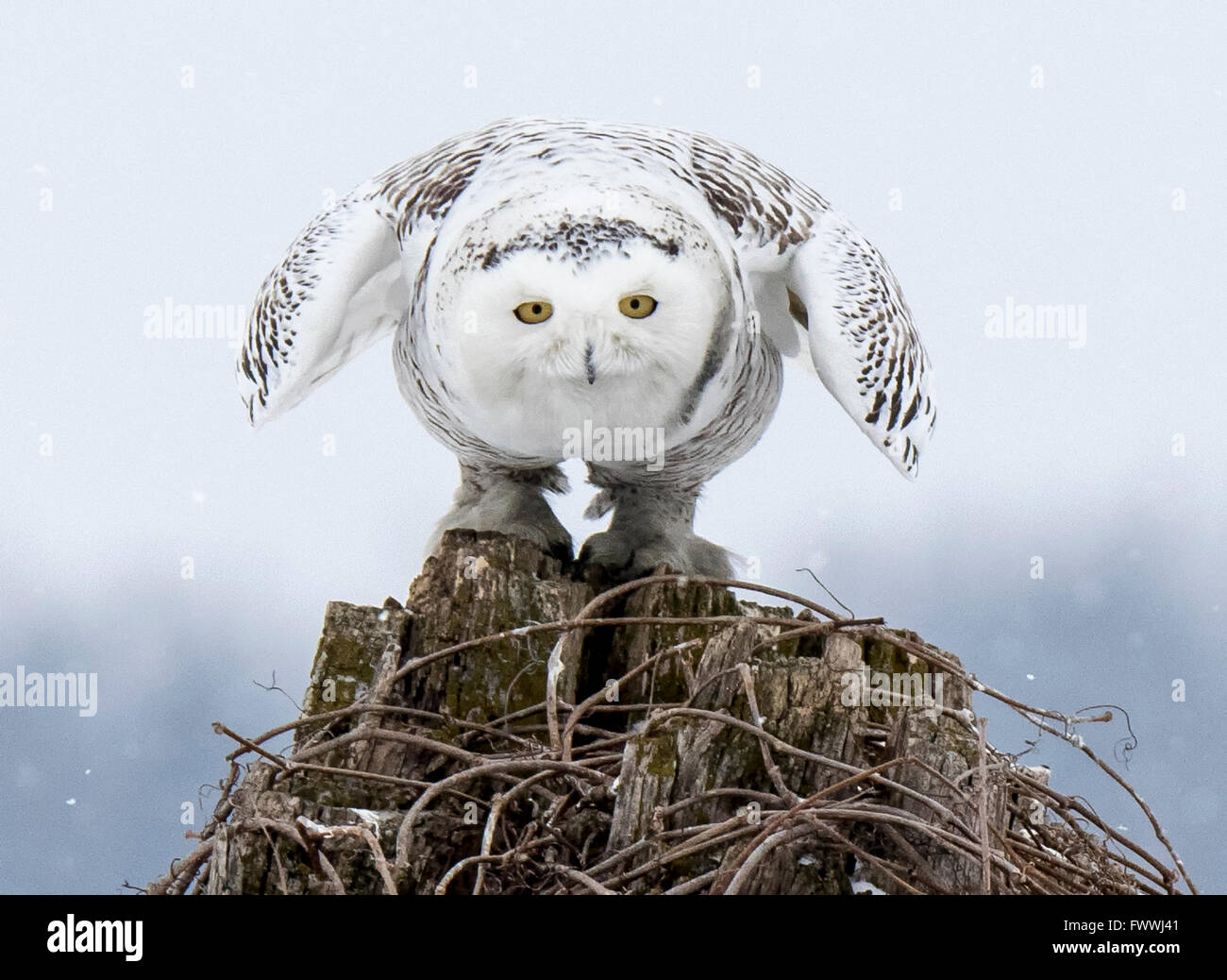 Snowy Owl taking off from tree stump - Stock Image