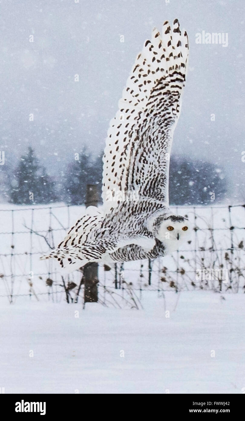 Snowy owl flying over winter field - Stock Image